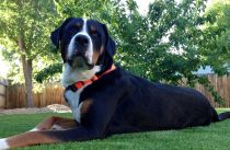 Large dog black and white laying lawn in the backyard.