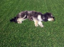 dog laying on grass synthetic turf lawn landscape pets black white dog relax sleep enjoy love grass