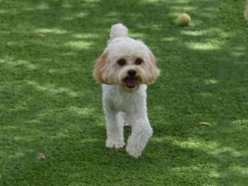 Artificial Pet Grass Hemet California Riverside County