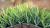 S Blade 66 Green on Green Commercial Artificial Turf