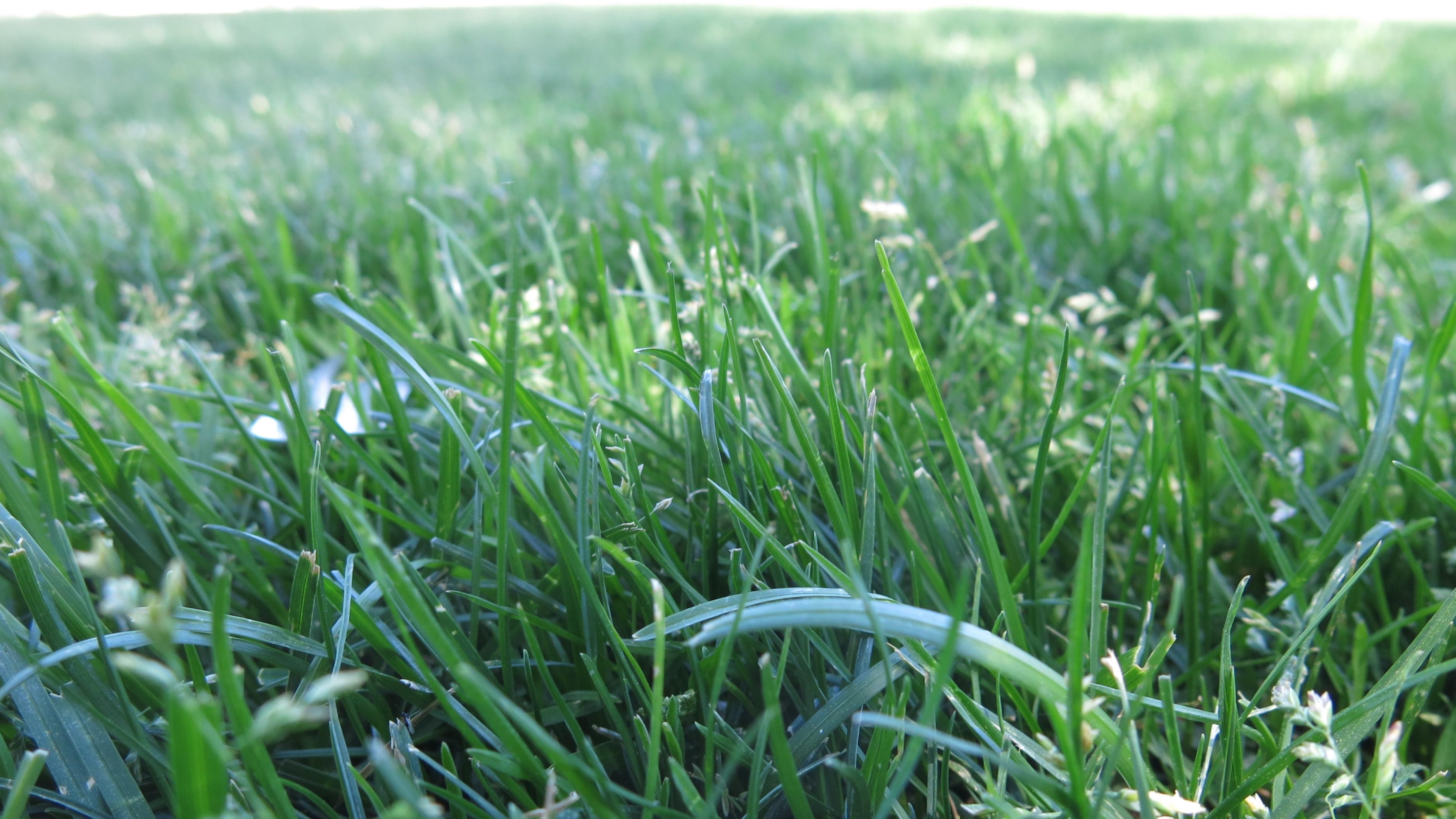 lawn bluegrass
