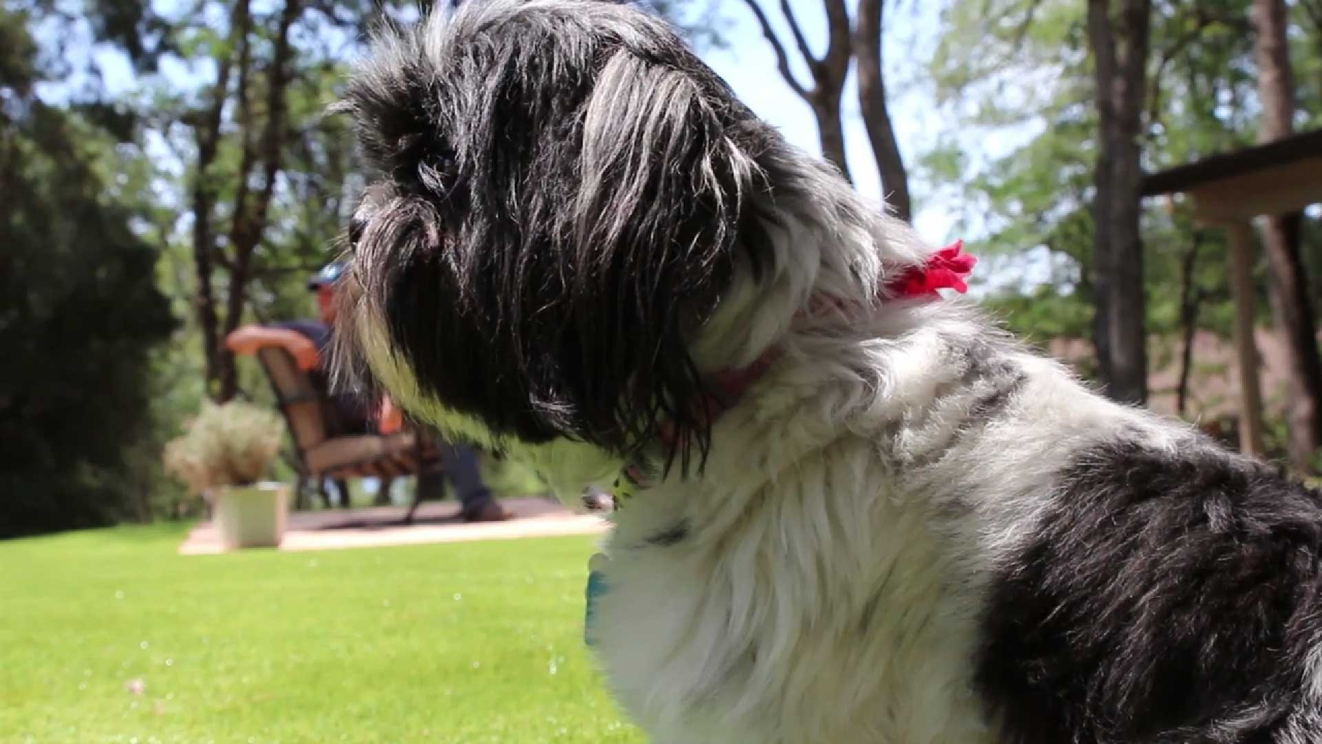 White and black small dog on artificial grass, synthetic turf