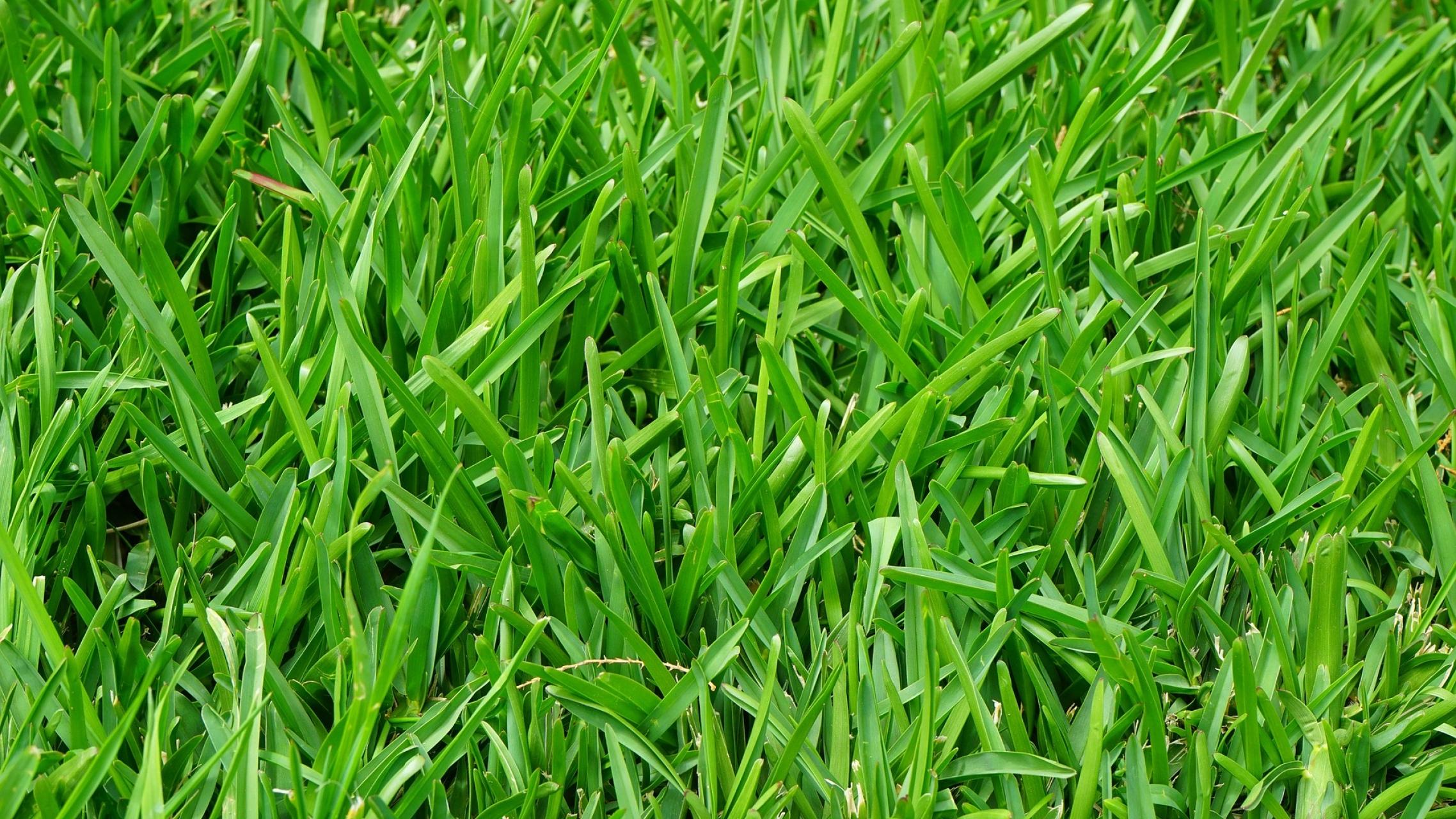 Ryegrass, lawn grass, grass, green grass