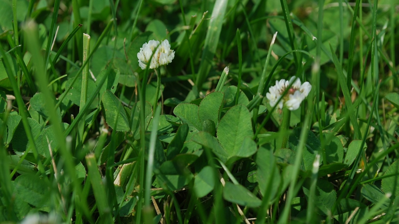 Lawn with clover - how to get rid of weeds