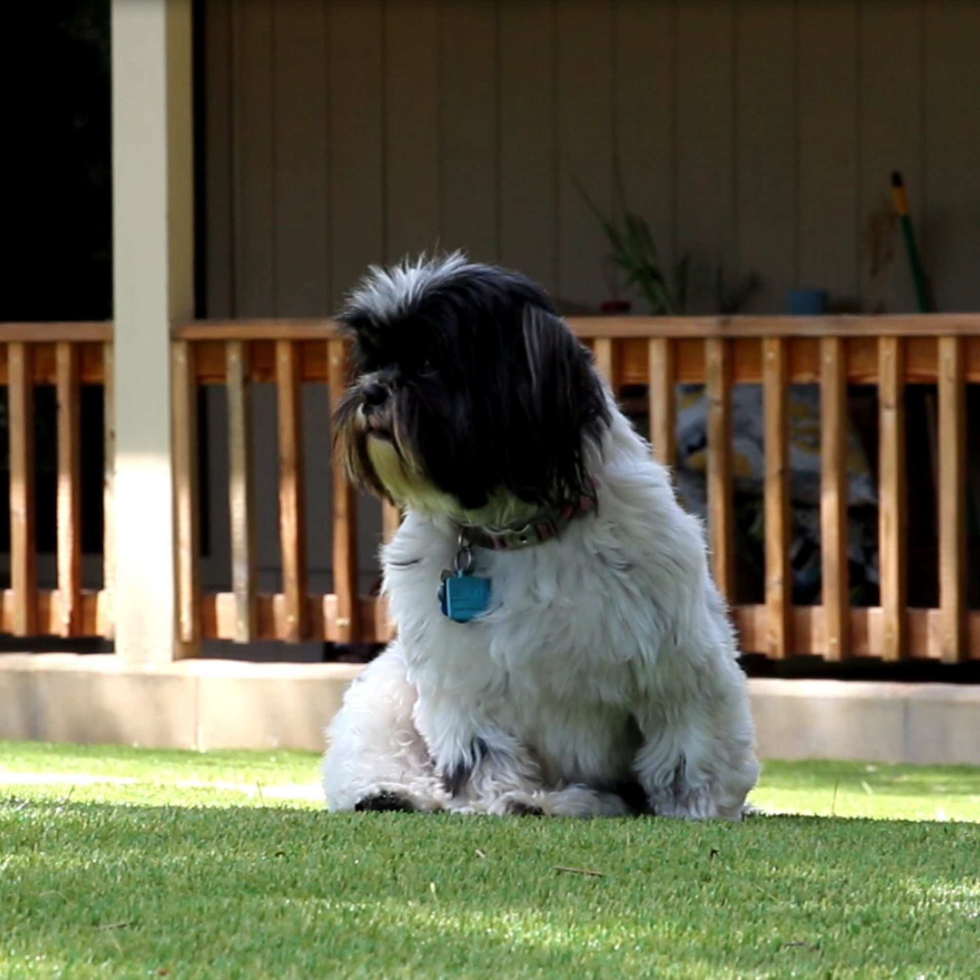 Small white black puppy dog with a tag sitting on synthetic lawn patio deck.