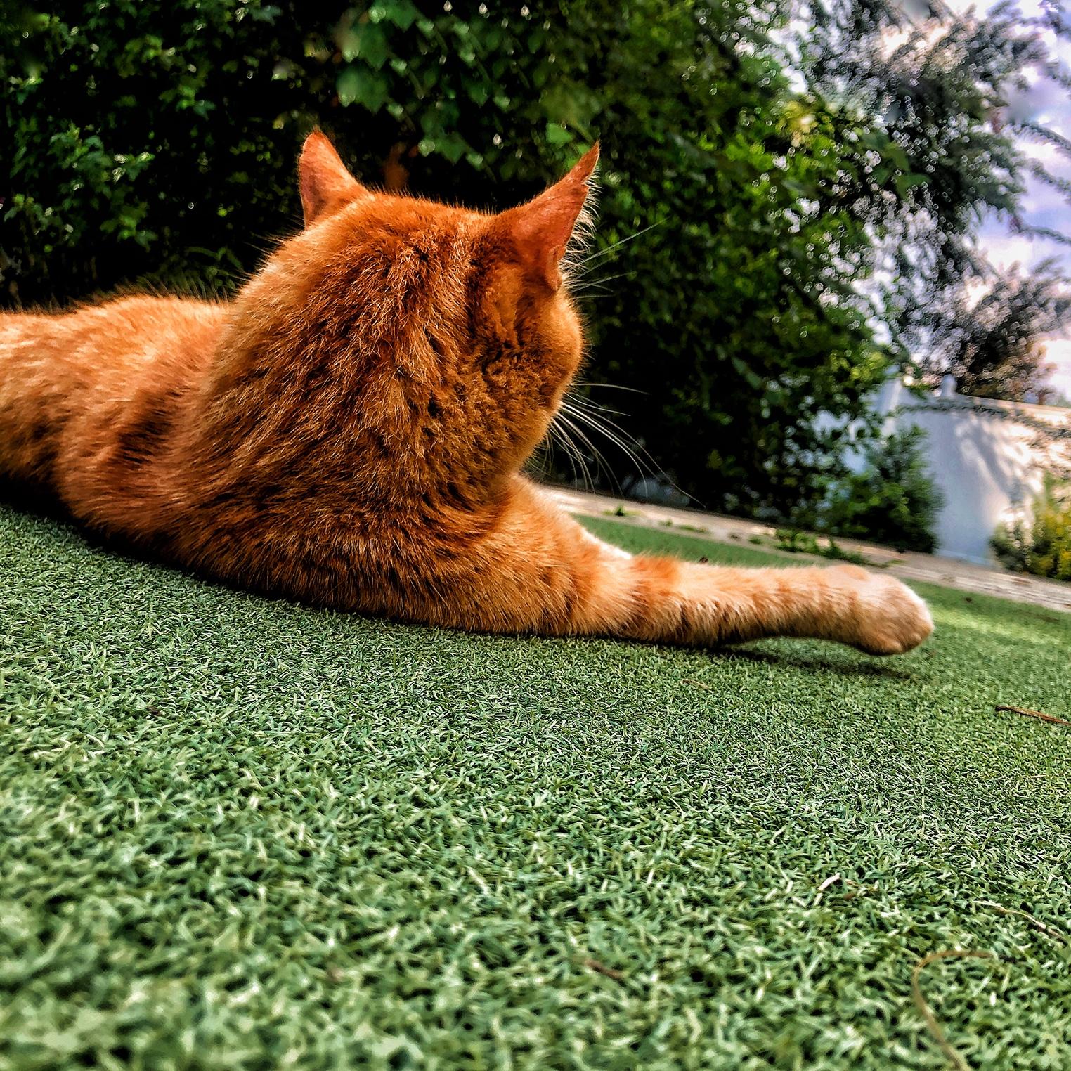 Yellow cat enjoying artificial grass putting greens