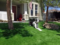 black white dog on artificial grass synthetic lawn front yard american flag green lawns trees