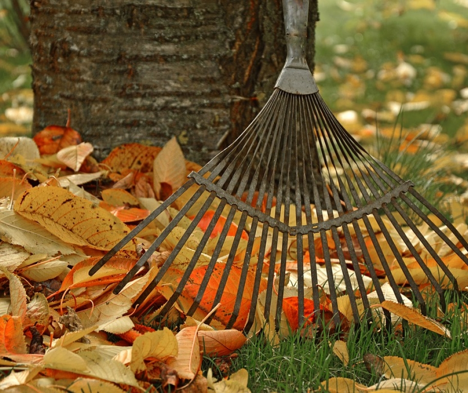 Fall yard clean-up, raking leaves with a garden rake