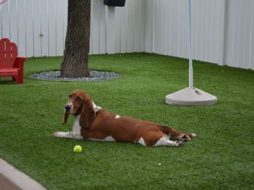 Make Your Dog Happy with No-Maintenance Synthetic Lawn