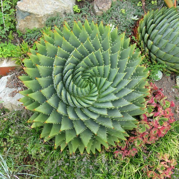 The Aloe Vera Plant drought-tolerant landscaping