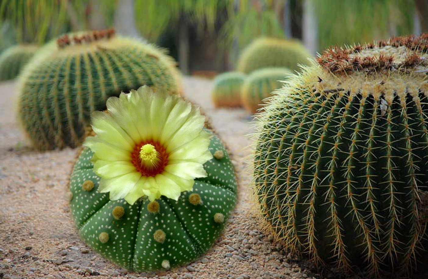 Cactus for desert landscaping gardening with yellow flower