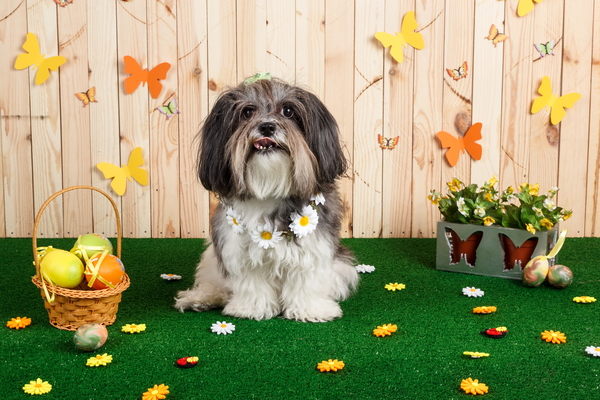 dog on artificial grass, small dog, cute dog