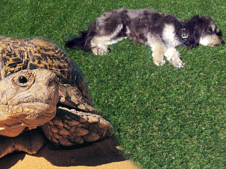 Desert Landscaping - Artificial Grass. Dog and turtle.