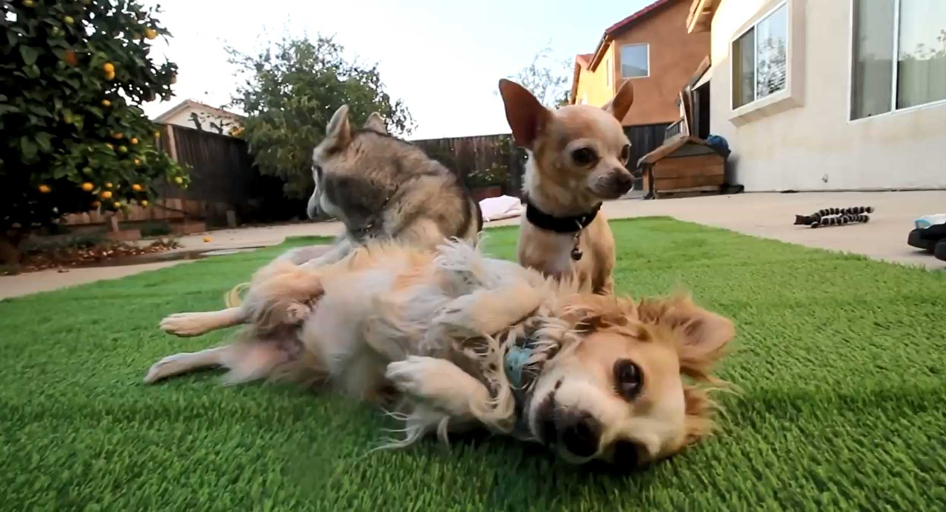 three dogs on artificial grass, synthetic turf backyard