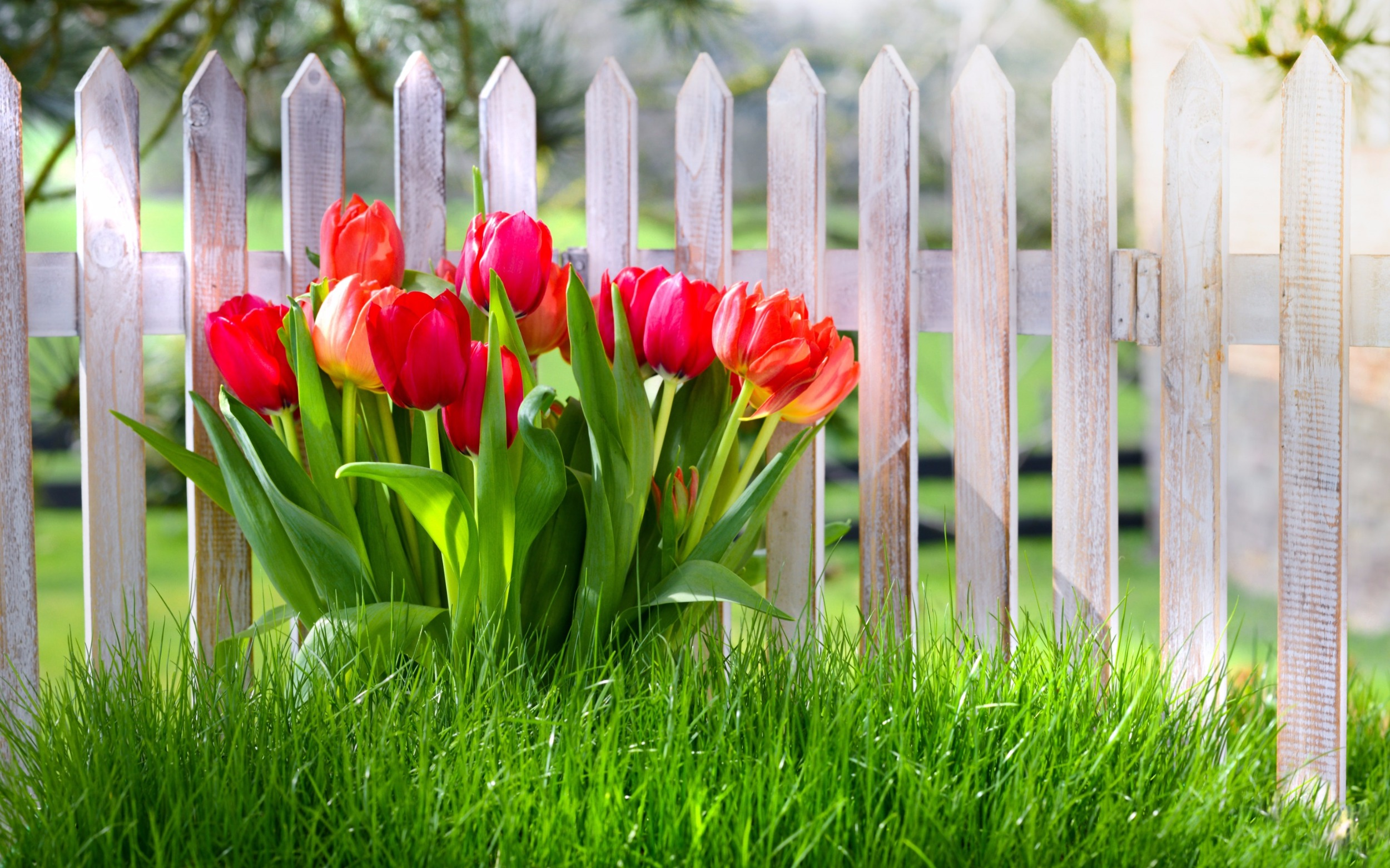 Save money water efficient landscaping, white fence, red tulips, green grass artificial turf