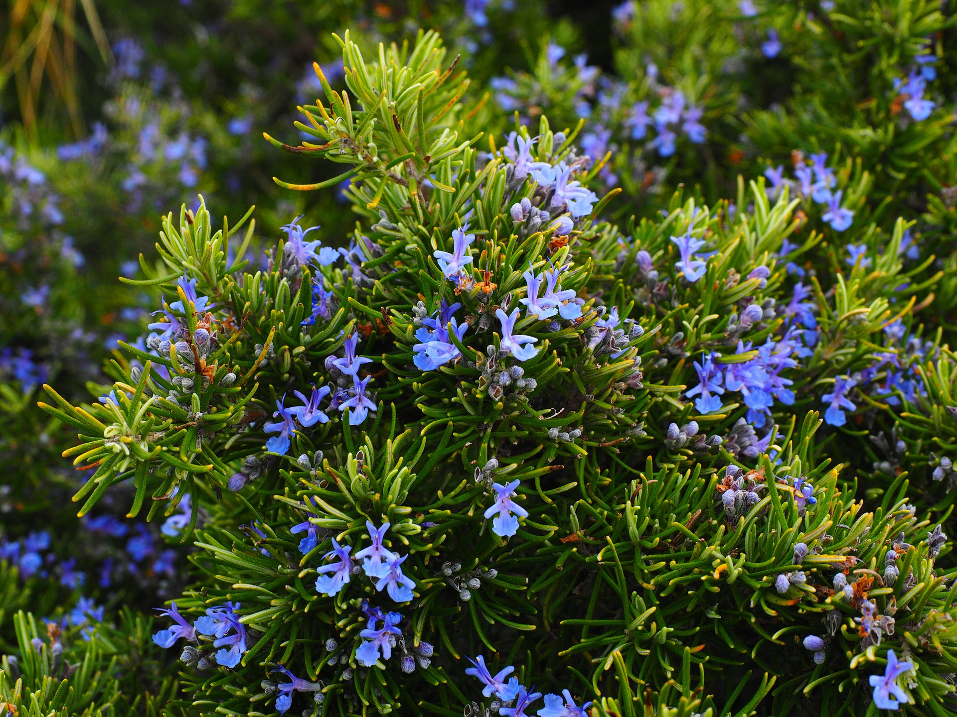 Rosemary blue flowers plant garden