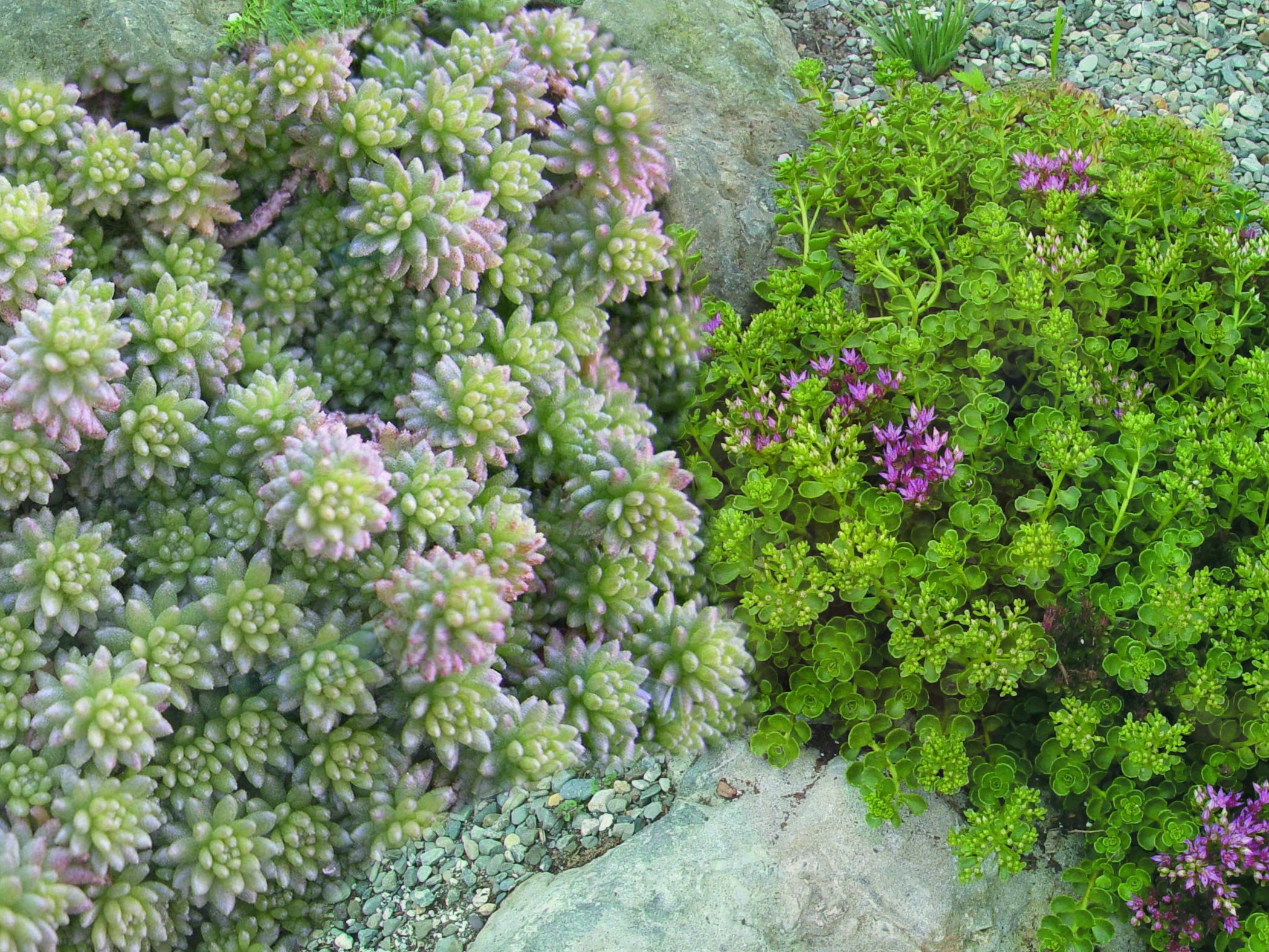 Varieties of Sedum drought-tolerant landscape desert