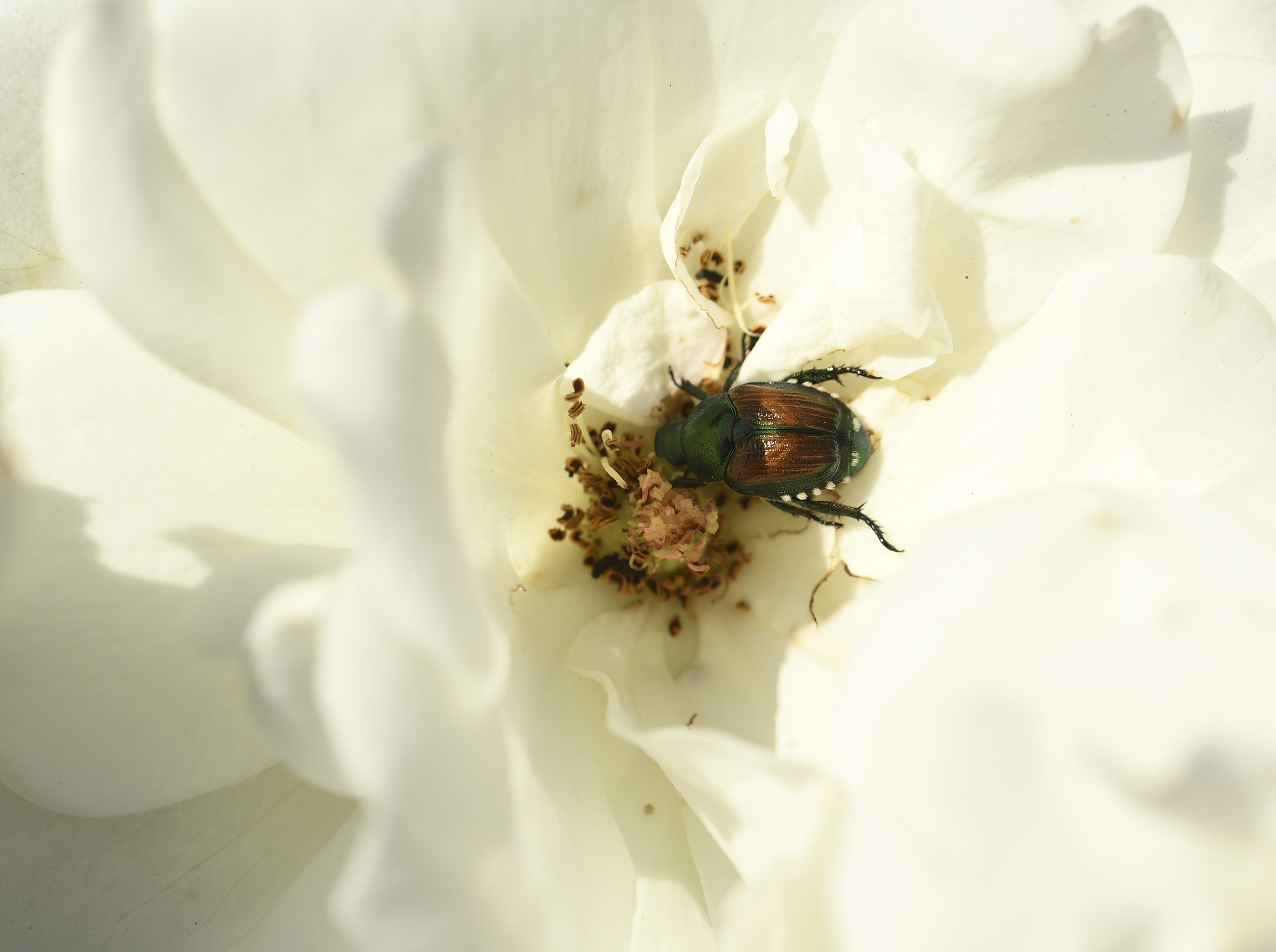 Punch list: Goodbye, adult Japanese beetles - for now