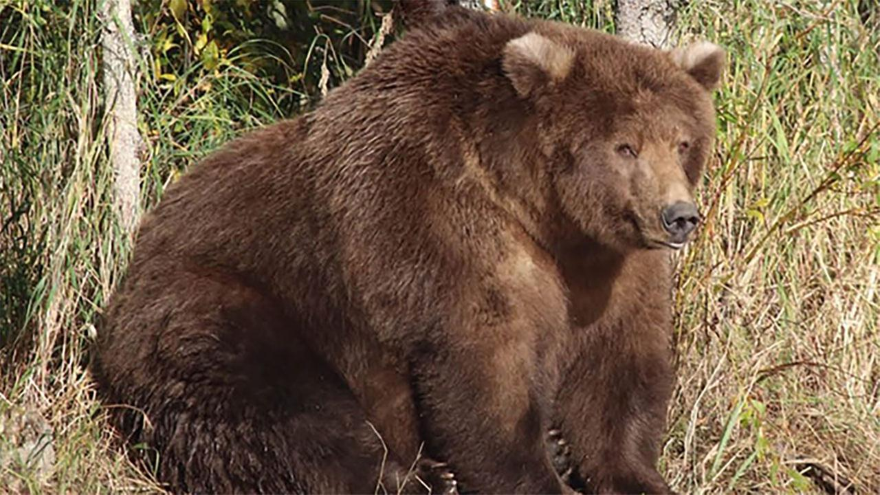 Fat Bear Week: Katmai National Park  Preserve names fattest bear ahead of winter hibernation