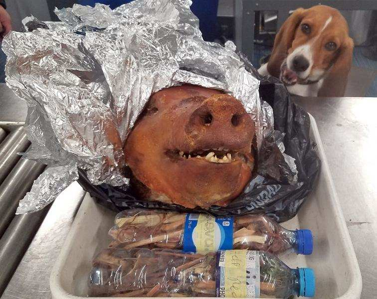 Customs beagle detects roasted pig head in checked luggage at Hartsfield-Jackson