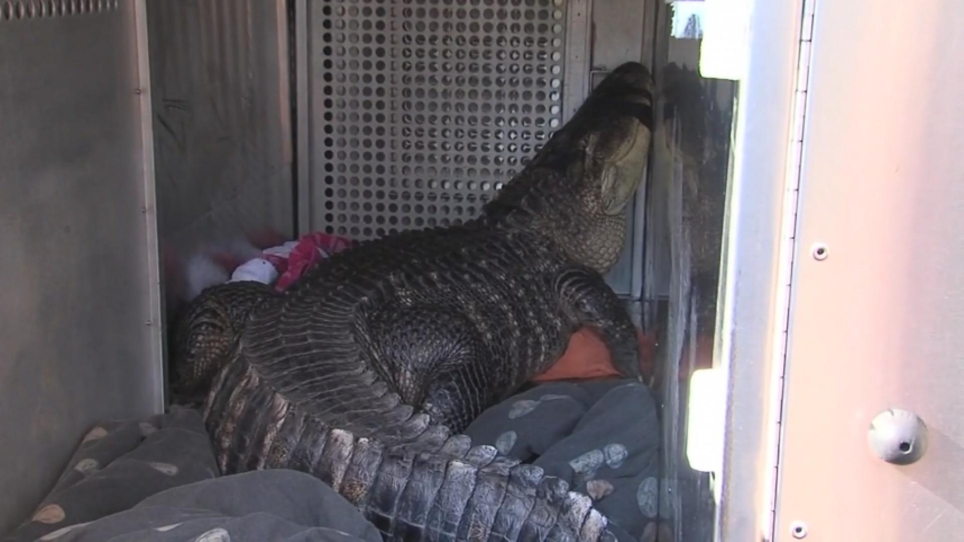 Pet Alligator Removed From Home