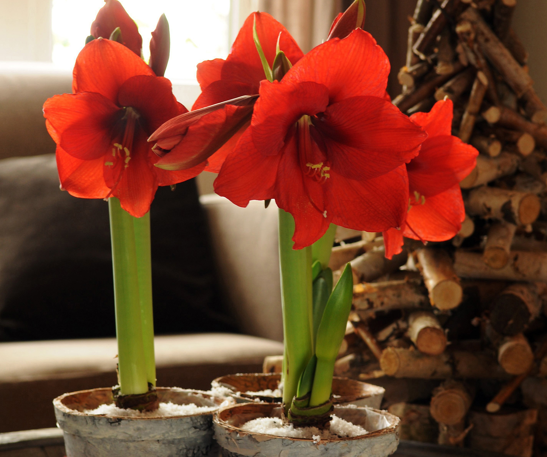 Punch list: Indoor houseplants and holiday bulbs