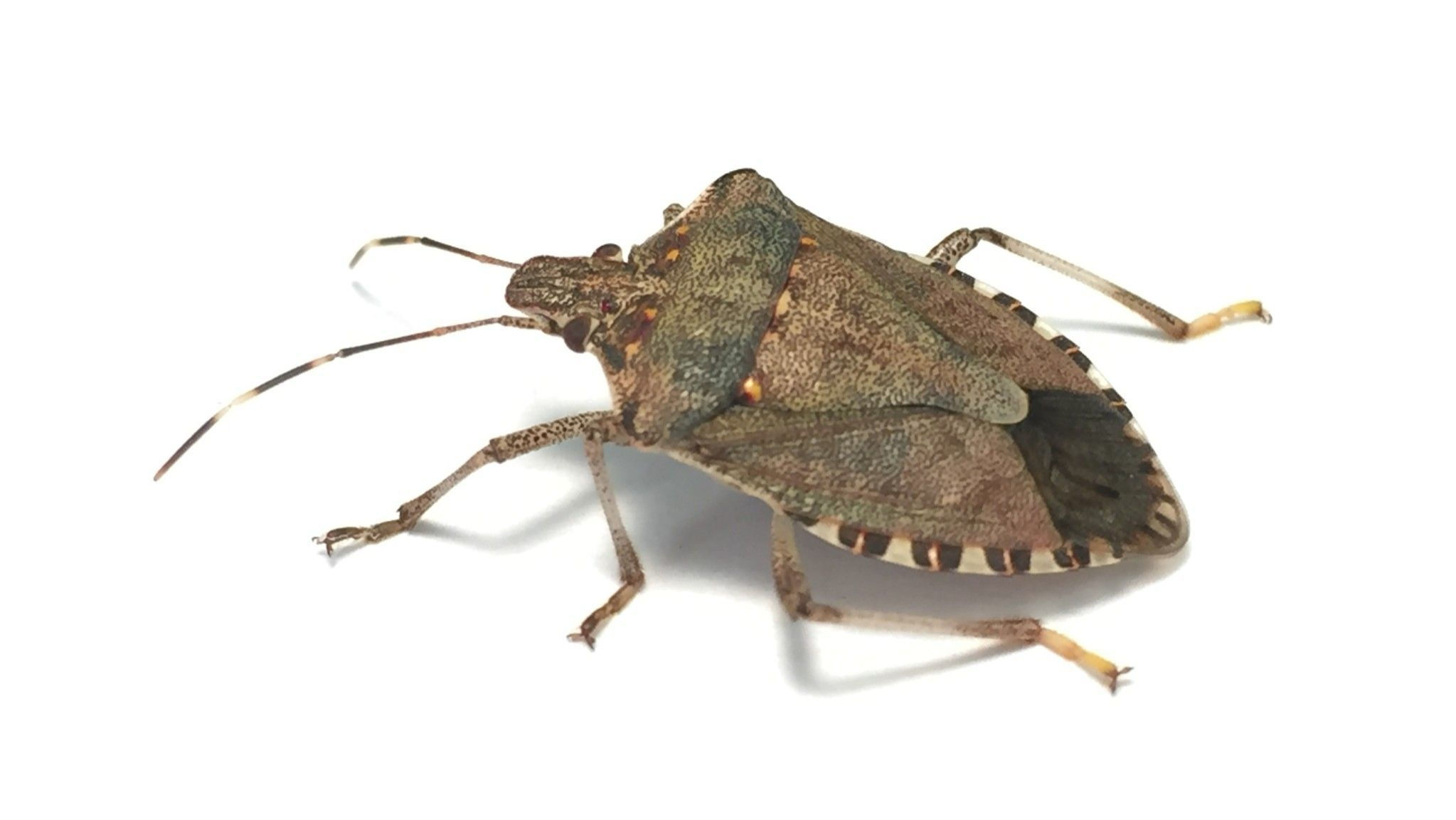 Garden Q&ampA: Are brown marmorated stink bugs here to stay?