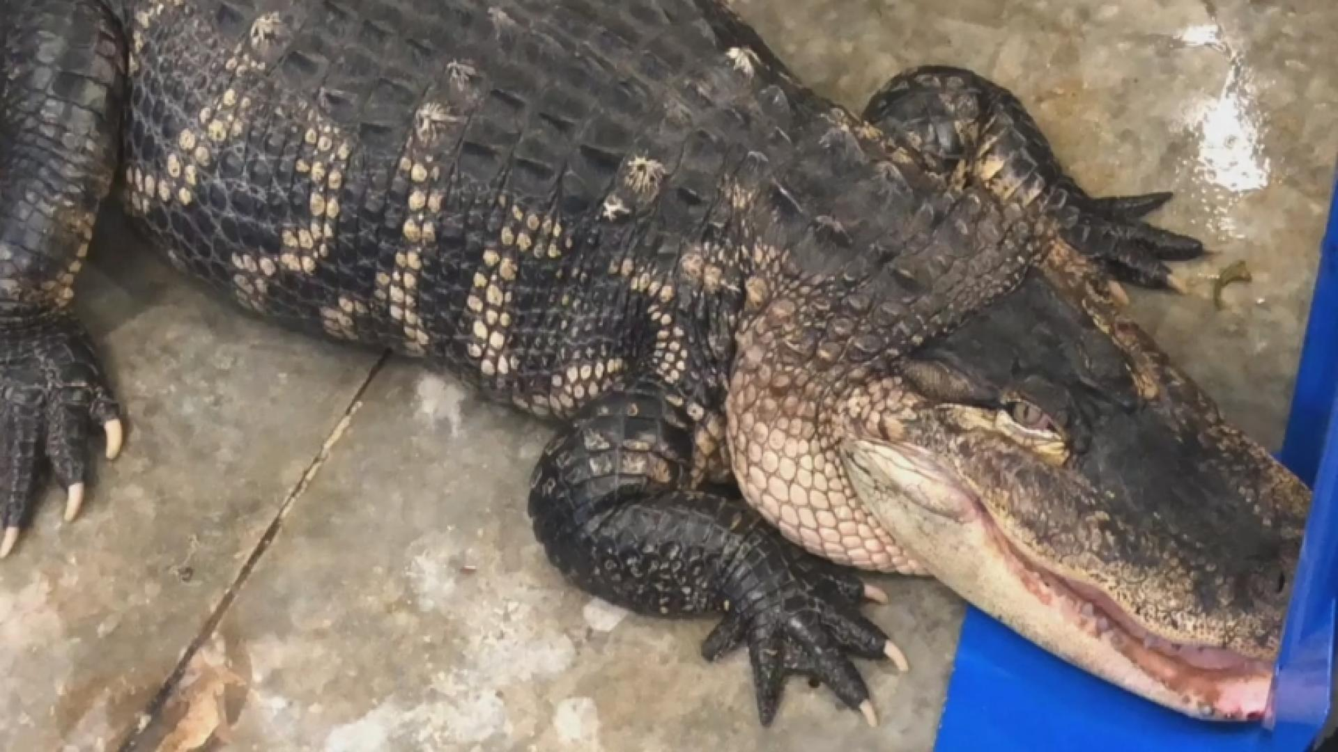 Katfish the Gator Gets New Home