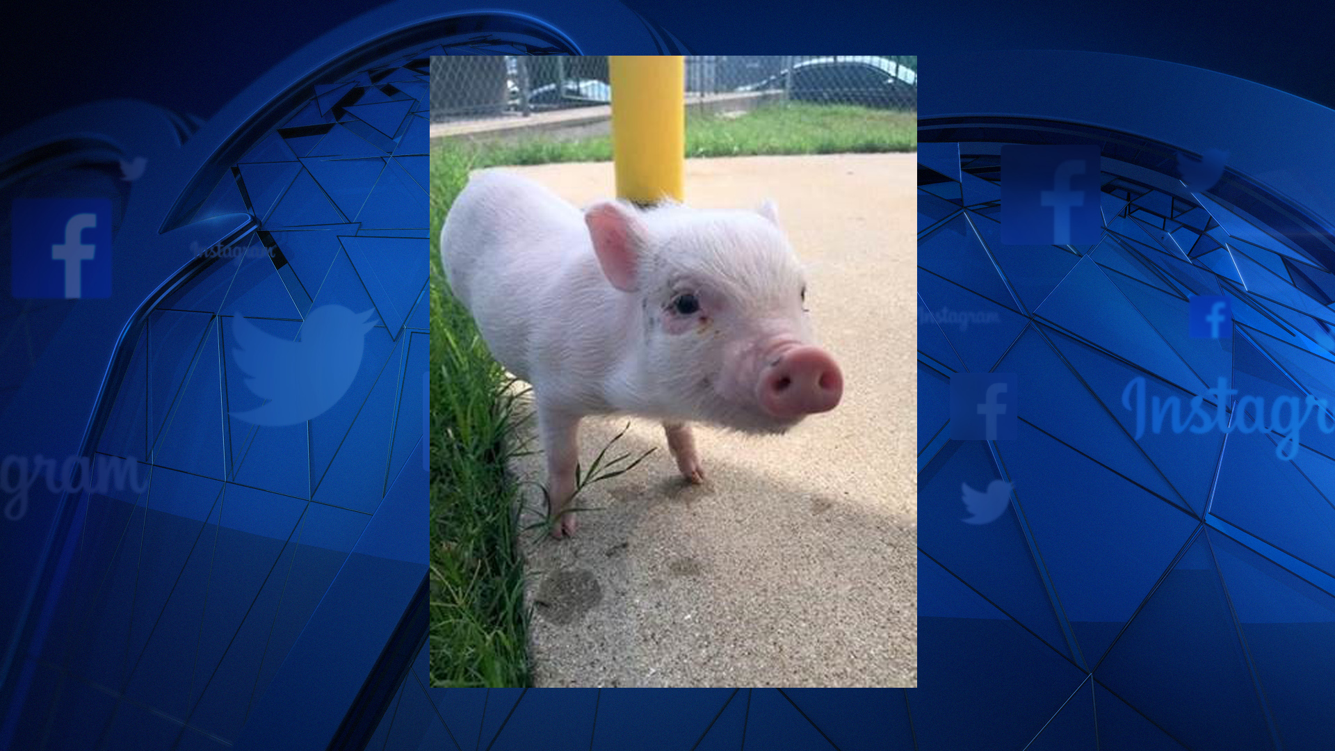 Pig Flies With 100 Dogs From Fort Worth for Good Reason